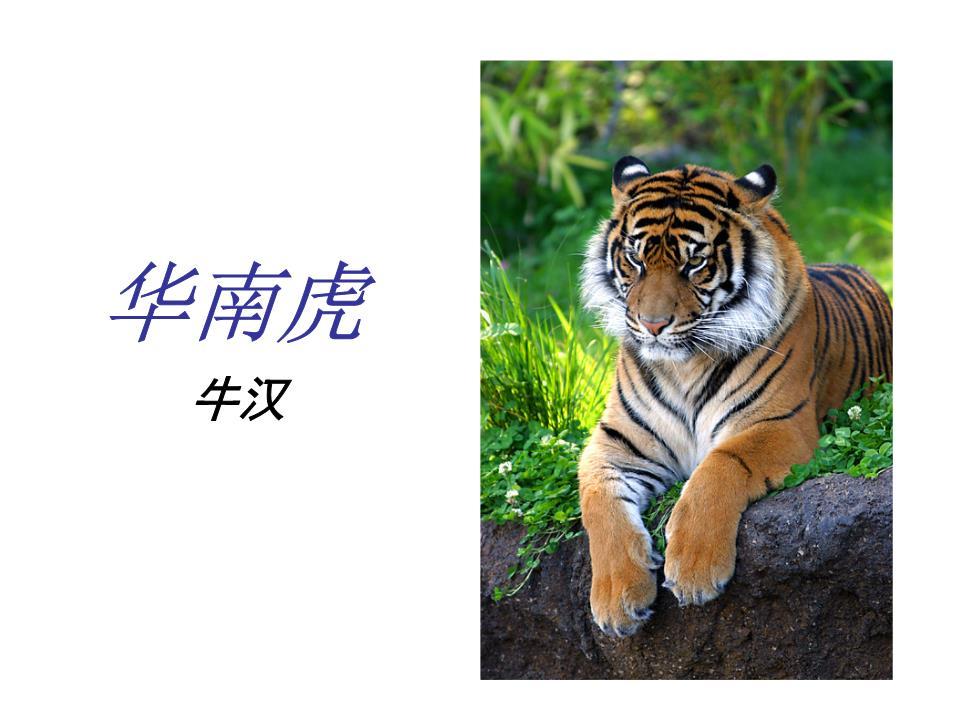 《华南虎》ppt母婴[精选].ppt课件保健证课件图片