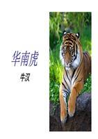 《华南虎》ppt女孩[精选].ppt课件小班ppt社会男孩课件图片