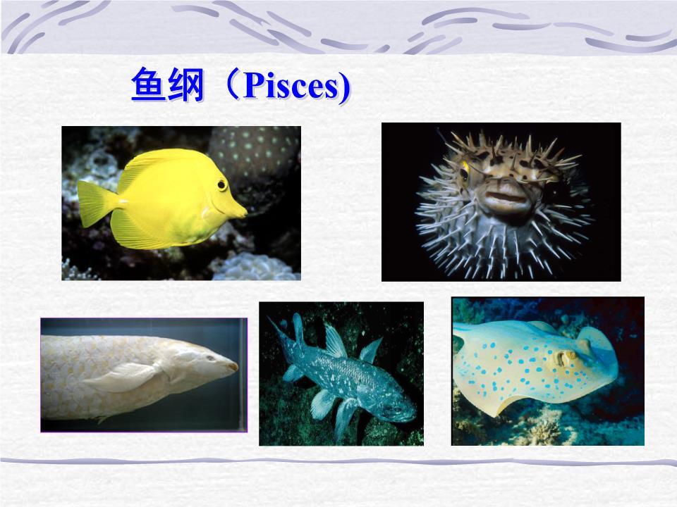 大学动物学--鱼要点.ppt