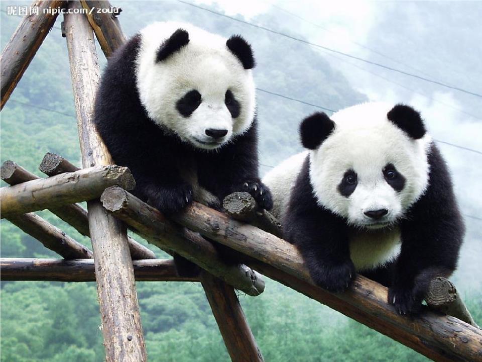 11 可爱的大熊猫概论.ppt
